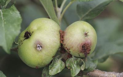 Apple codling moths