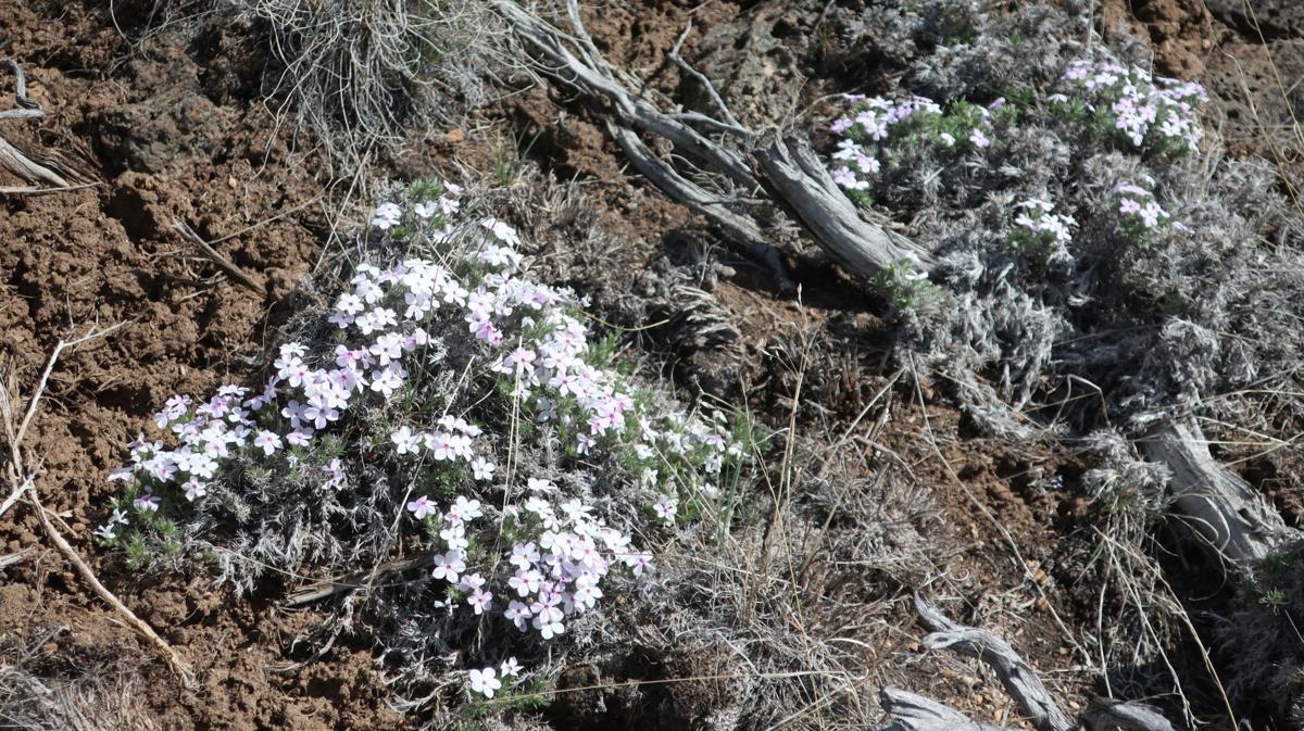 Whitney wildflowers
