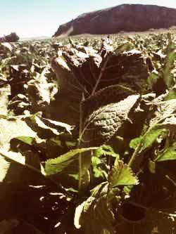 Niche markets: Tulelake producer grows peppermint