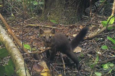 Redwoods Predator Trapping Ban