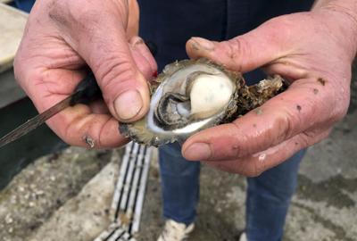 Croatia Oysters