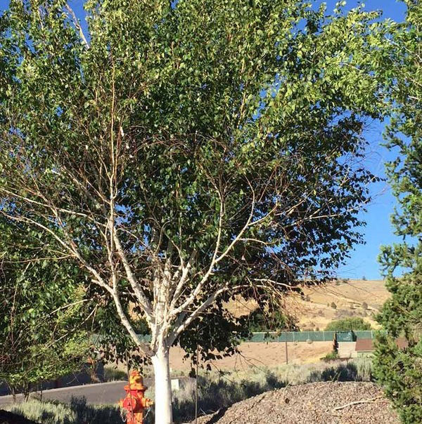 Bronze Birch Borer Found Abundantly In Klamath Falls