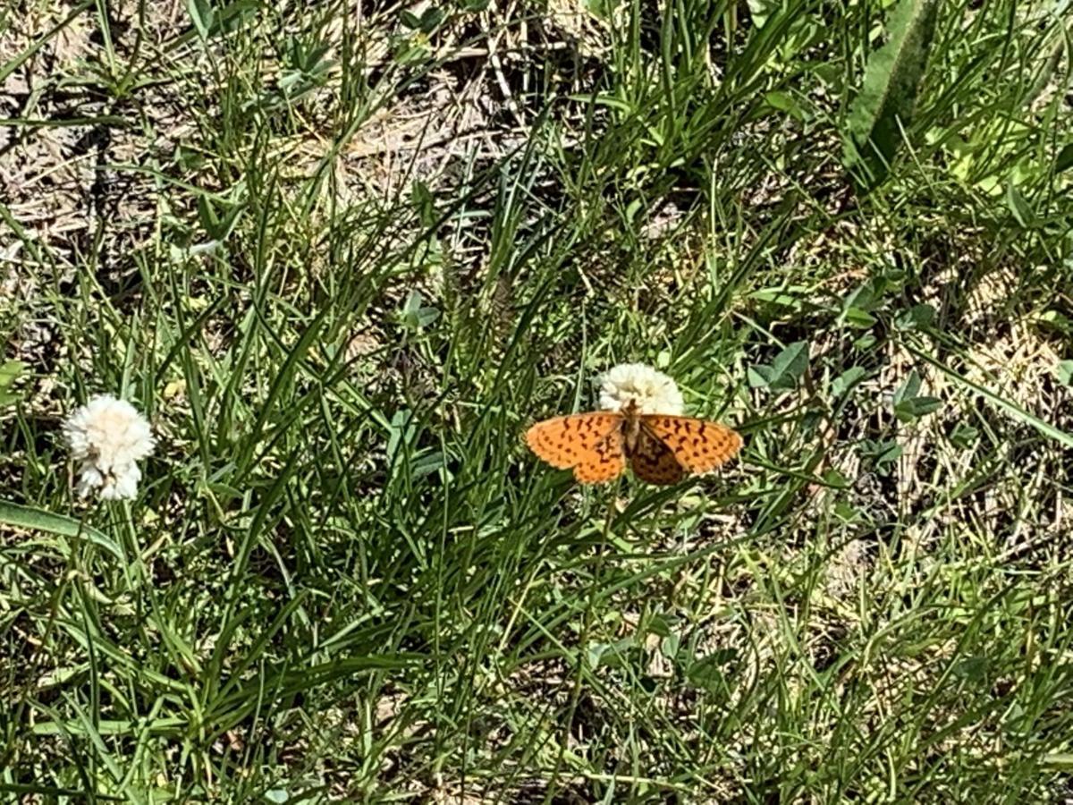 Long Lake butterfly