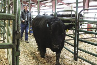 A 'cattle community': Bull, horse sale celebrates 60 years