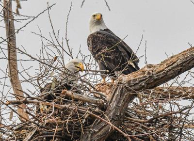 Bald eagles Lower Klamath