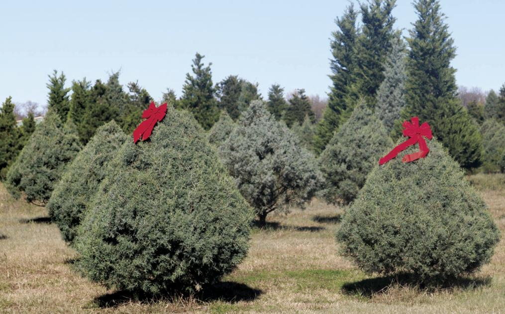 Holiday Hunting Season: Sales kick off today for Hunt County's popular Christmas  tree farms | Local News | heraldbanner.com - Holiday Hunting Season: Sales Kick Off Today For Hunt County's