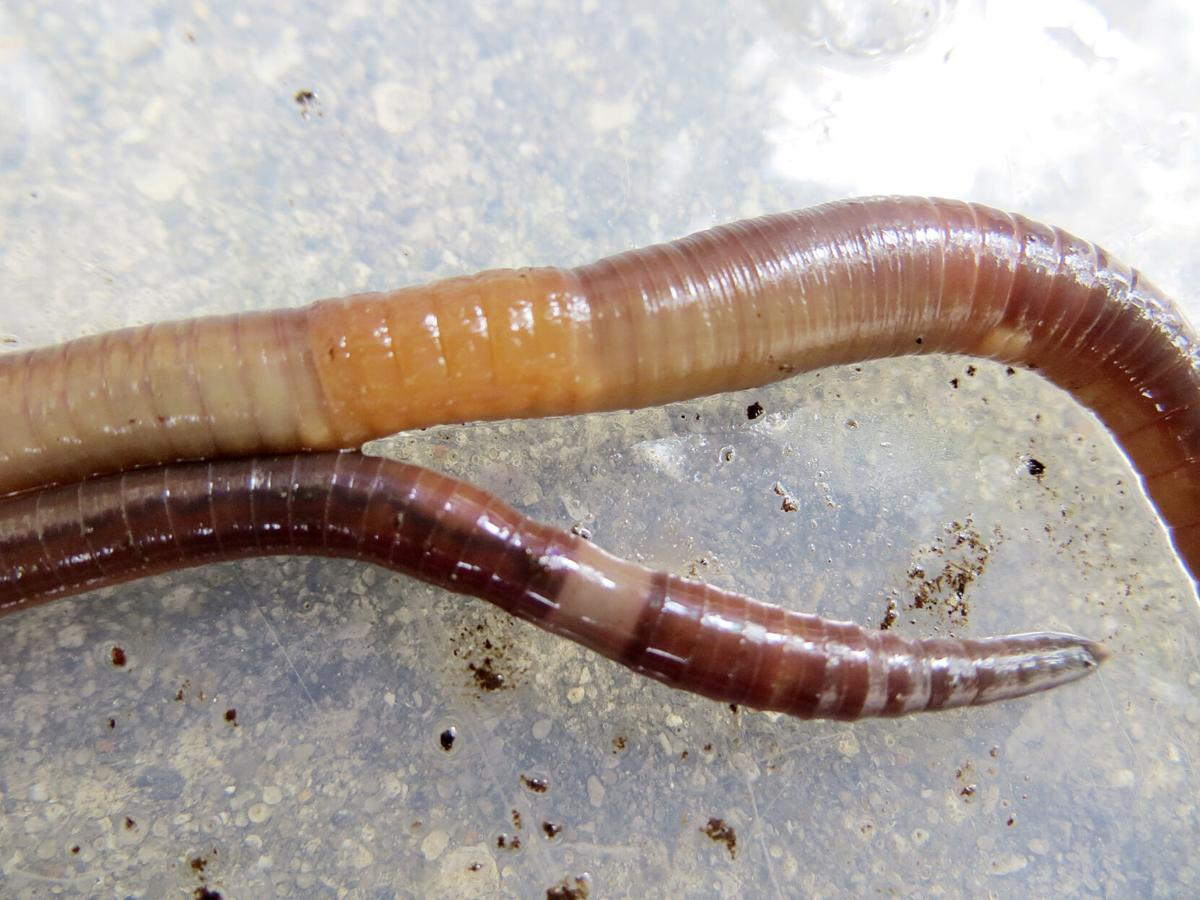 Asian jumping worms