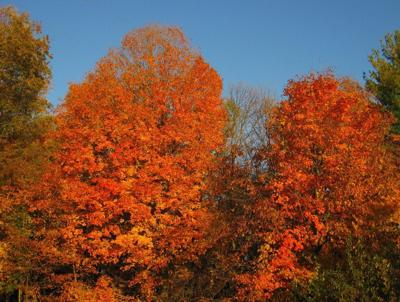 On Nature Column Maples Dot The States Landscape Opinion