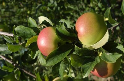 Apple Trees, MADISON-09.jpg