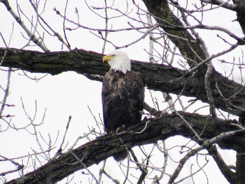 Bald eagles flock to Illinois
