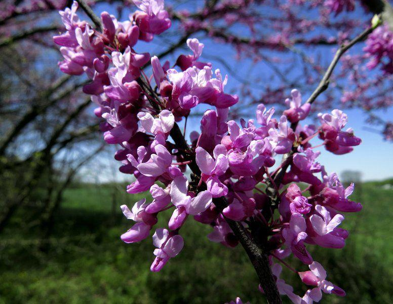 On Nature Column Beauty Of The Redbuds Nears Bloom Opinion