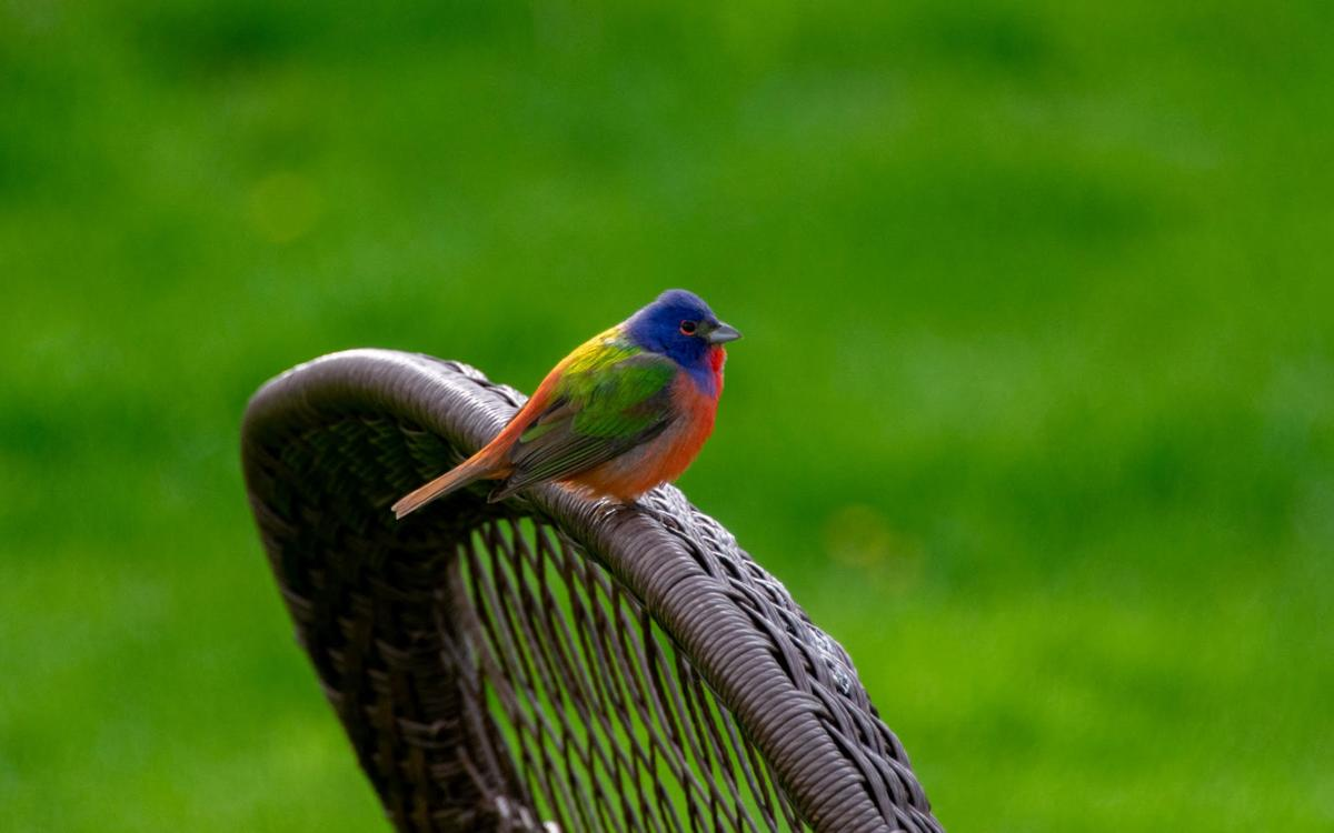 Male Painted Bunting.jpg