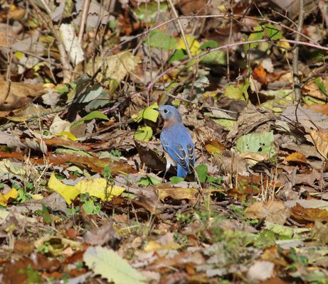 Eastern bluebirds staying around in the cold