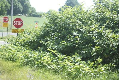 Road Dept. not letting knotweed get out of hand