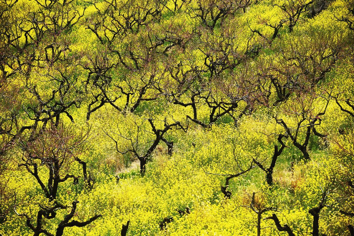 210501-HP-mustard-field-fea-photo.jpg
