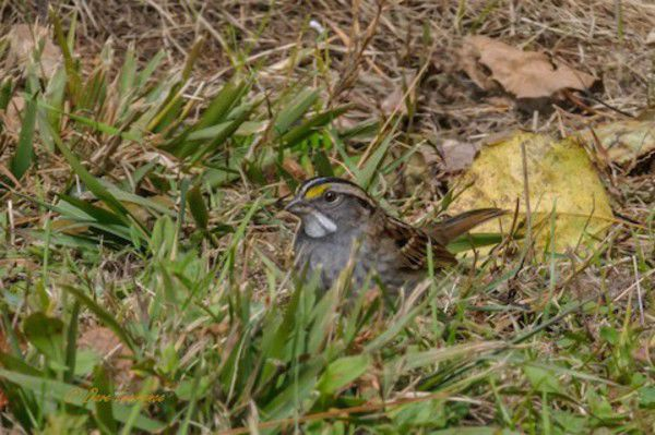 Sparrows of all kinds migrating through Michigan