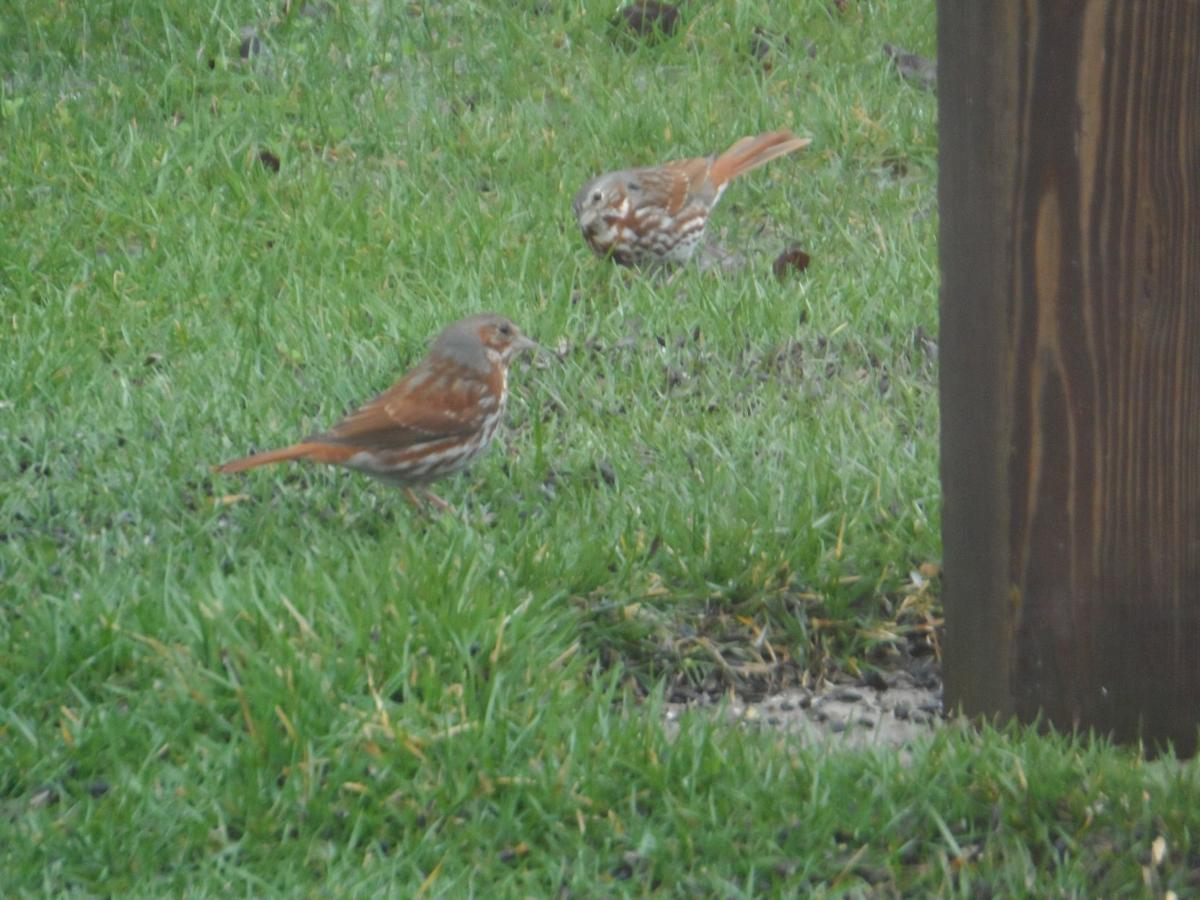 Fox sparrows