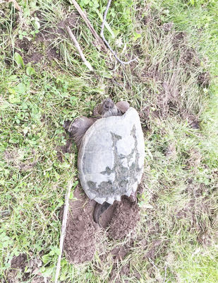 Snapping turtles looking for nests