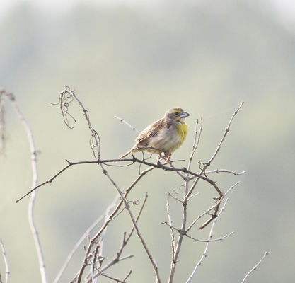 Dickcissels staying late this summer