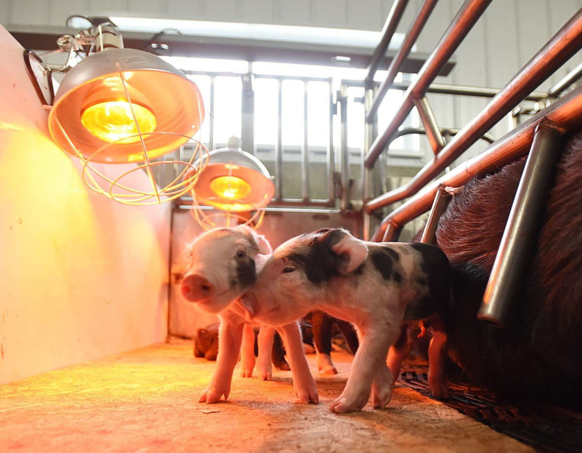 200205-HP-countryside-pigs2-photo.jpg