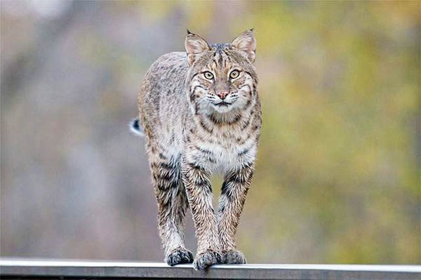 Bobcat reported in Watervliet Township