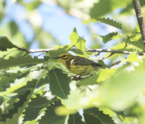 Endangered prairie warbler spotted at Warren Dunes
