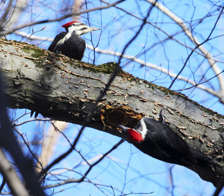 Pileated woodpecker a striking wonder