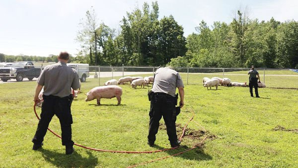 PETA to protest pig deaths
