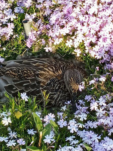 Not Mother Nature's plan, but happy ending for ducklings taken from nest at war monument
