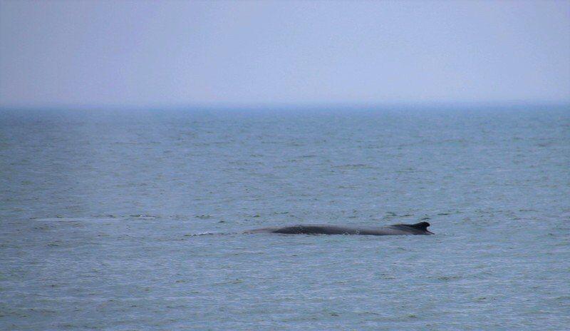 Whale, hello!: Humpbacks sightings plentiful at beaches