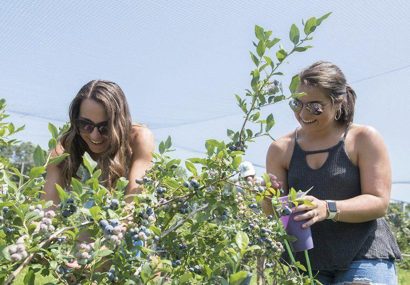 Fresh blueberries -- just an arm's reach way