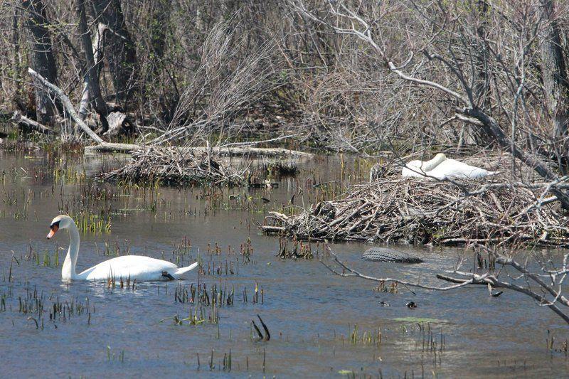 Nesting swans make Merrimack River their home
