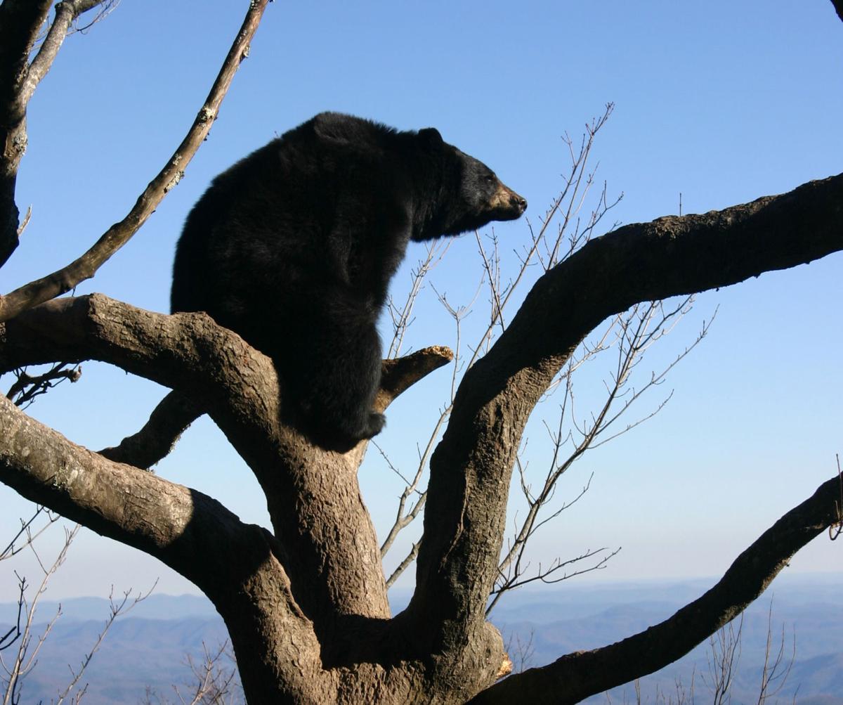 Yonni the Bear