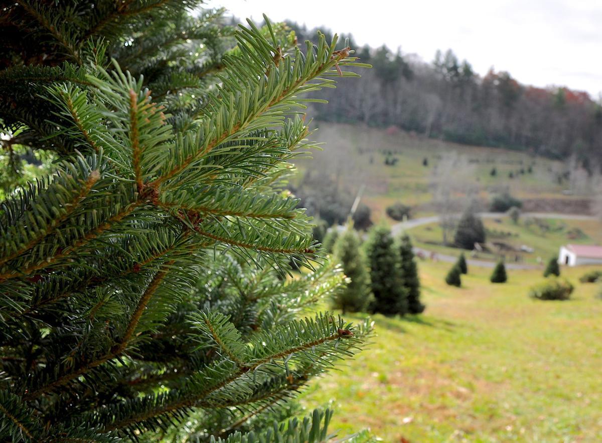 Christmas Trees 2021 Watauga Democrat Choose And Cut Christmas Tree Sales Have Begun In Watauga County Hcnc Highcountrync Com