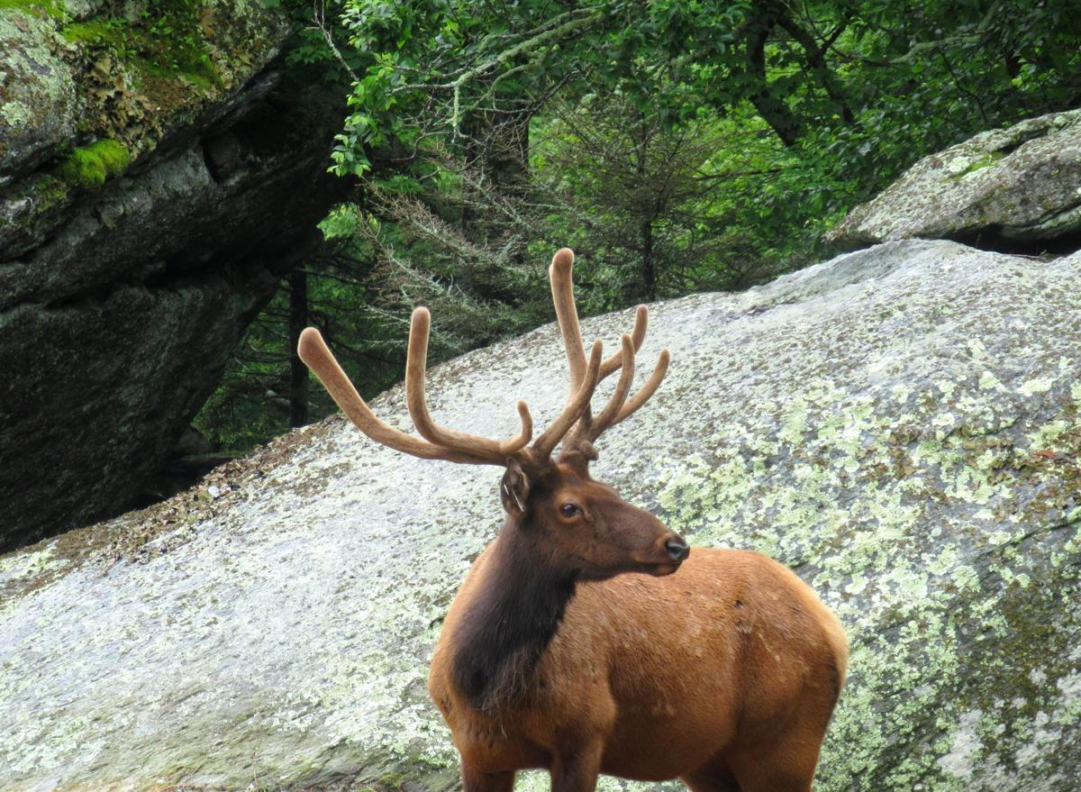 Grandfather Mountain animal attraction