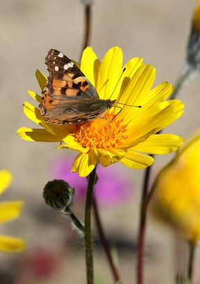 A painted lady butterfly sits atop a desert sunflower