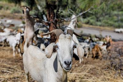 Goats at work