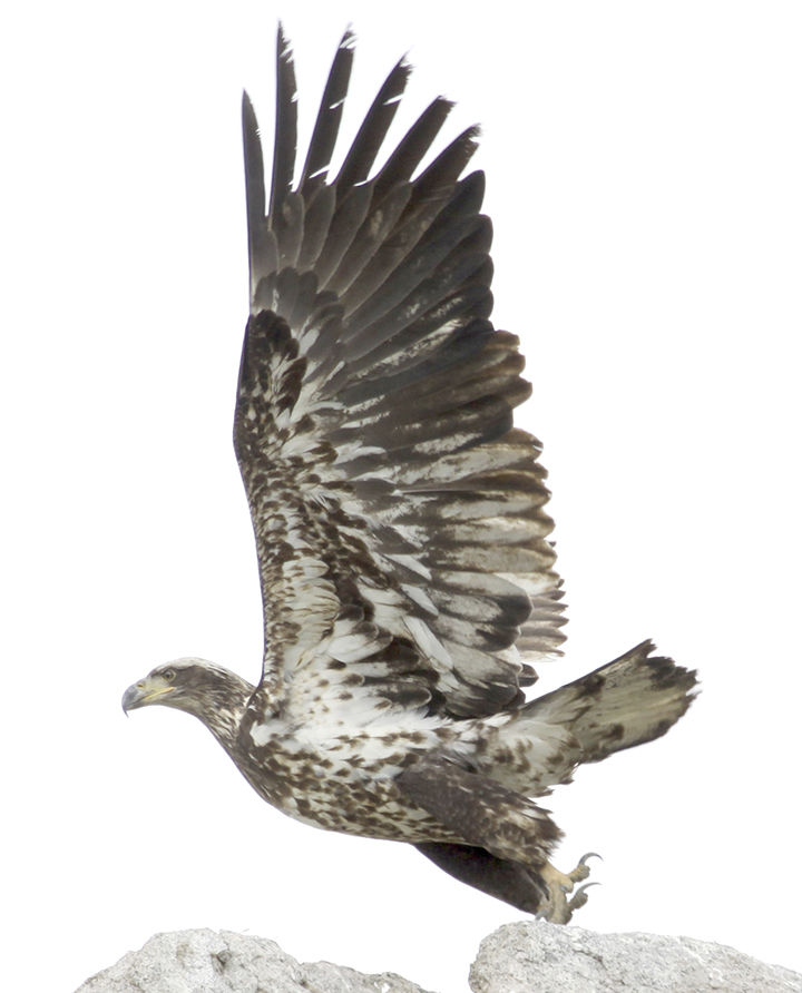 The immature bald eagle is sometimes mistaken for a red-tailed hawk