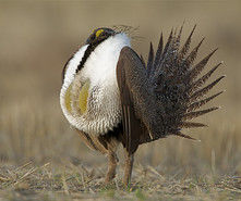 Sage-grouse hunters will have to buy tags for the 2021 season, which go on sale Aug. 1