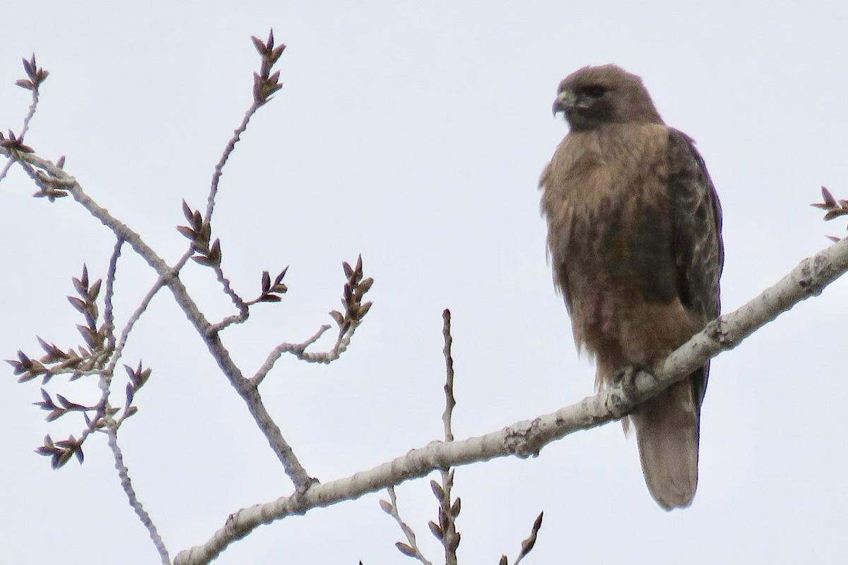 Raptor survey including Cache County for first time in 20-year history