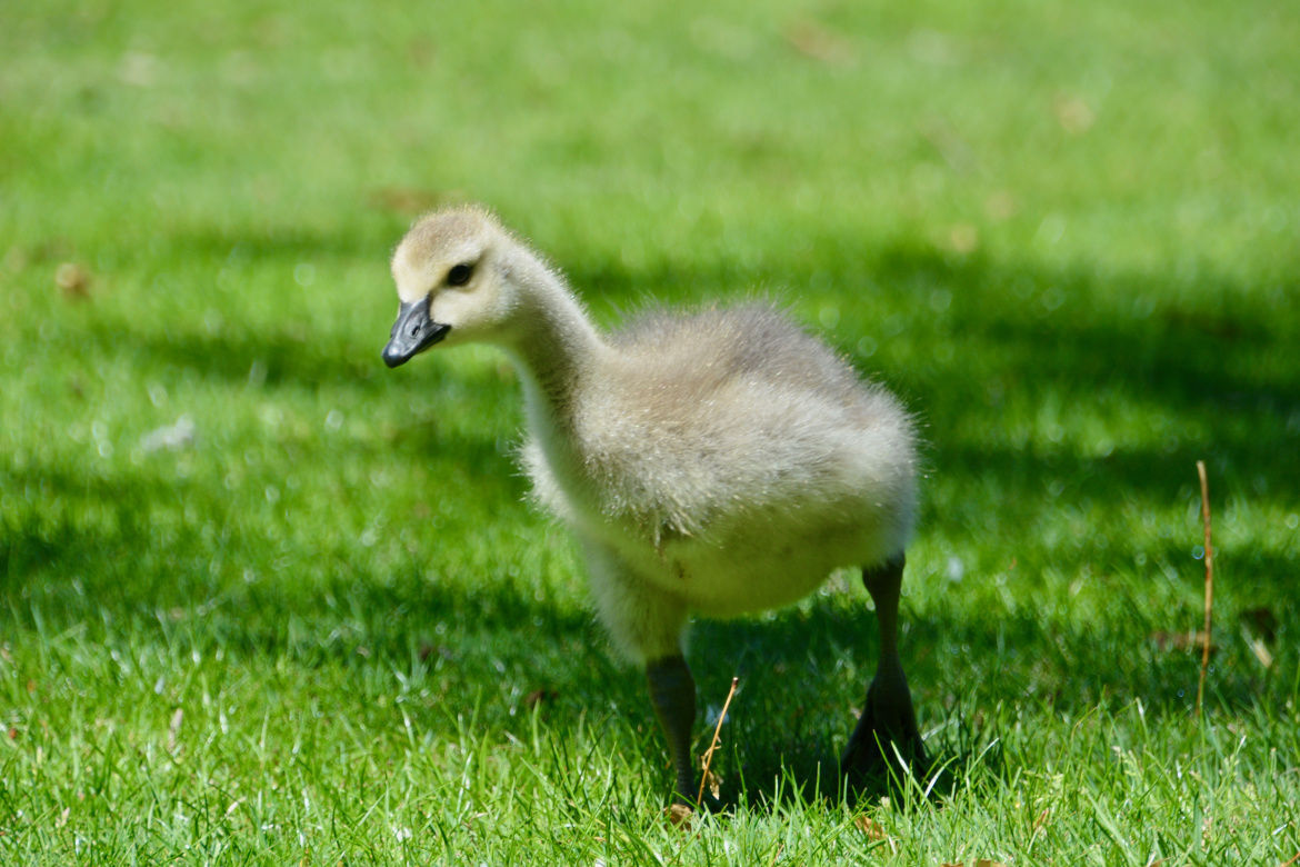 During the spring wildlife baby boom, young animals are better off left alone