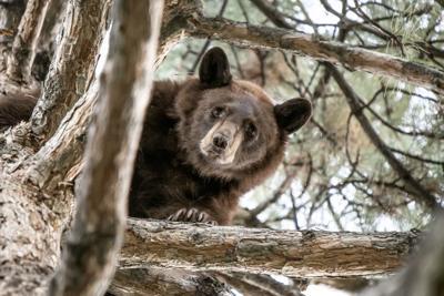 ODD Bear In Tree