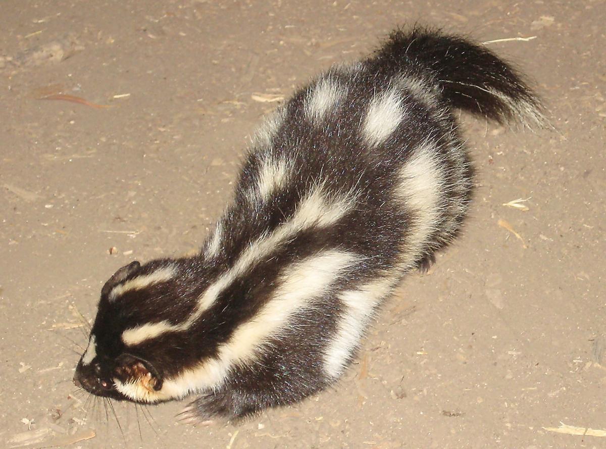 Skunks Fill Natural Niche In