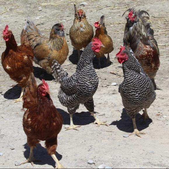 Caring for backyard chickens in winter | Preston Citizen ...