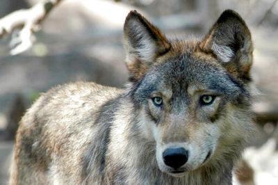 Wolf file generic AP