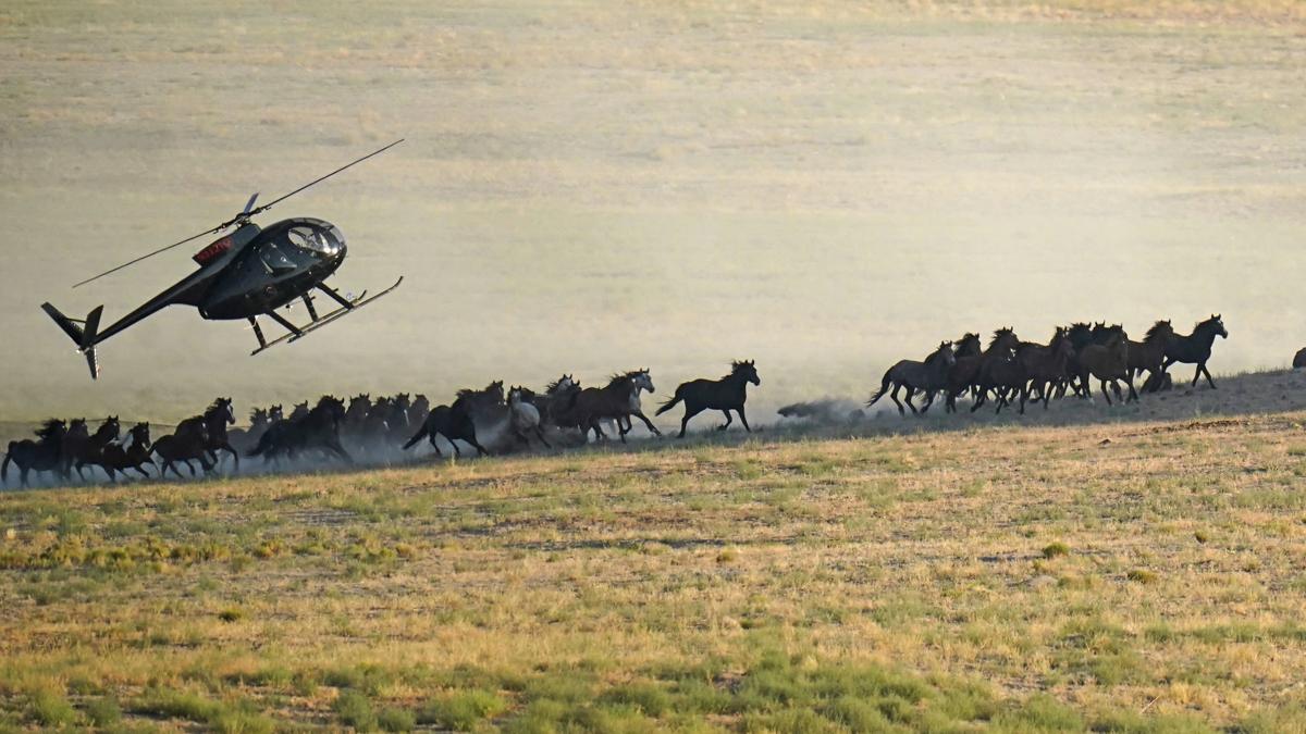 Wild Horses Roundups