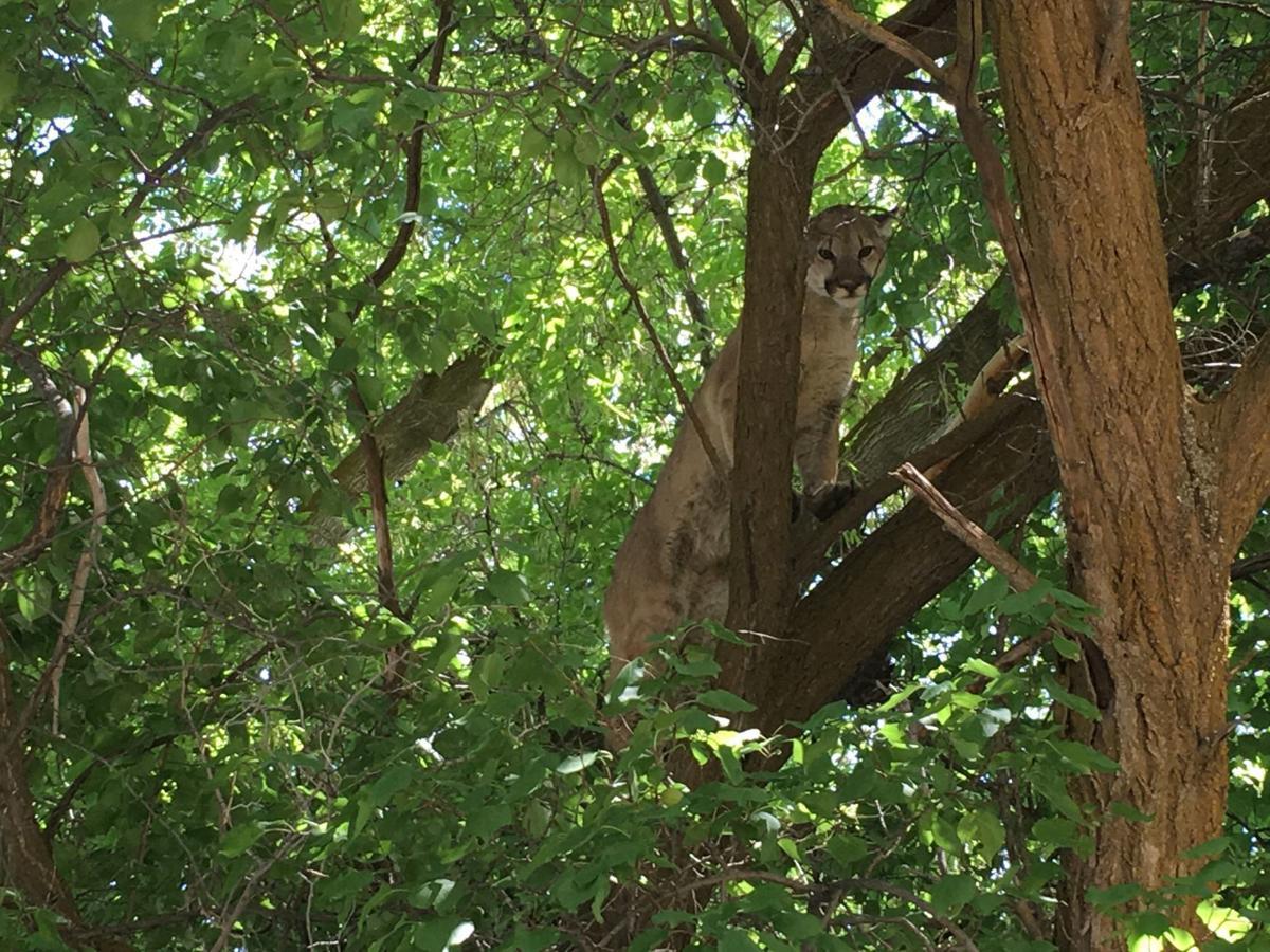 Mountain lion treed in Banida's park