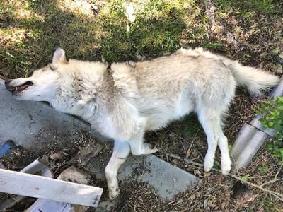possible wolf_roadkill