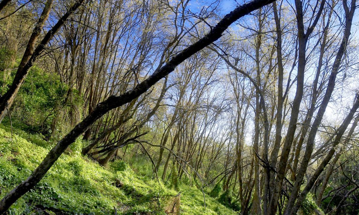 defoliated trees MAIN