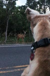 While camping or hiking, don't let dogs chase wildlife